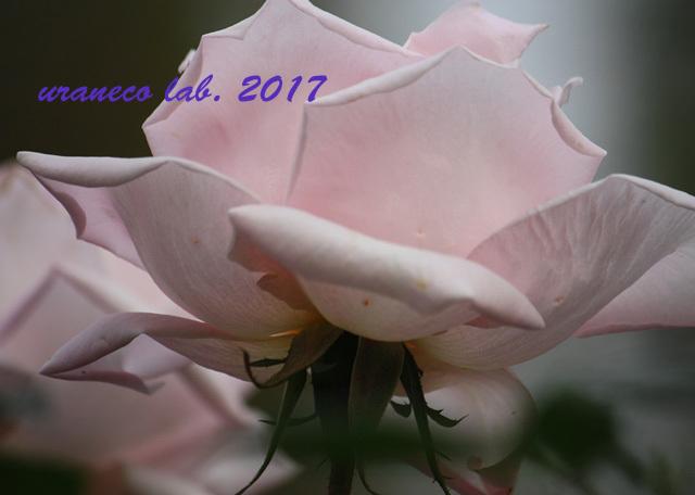 11月6日winter roses3