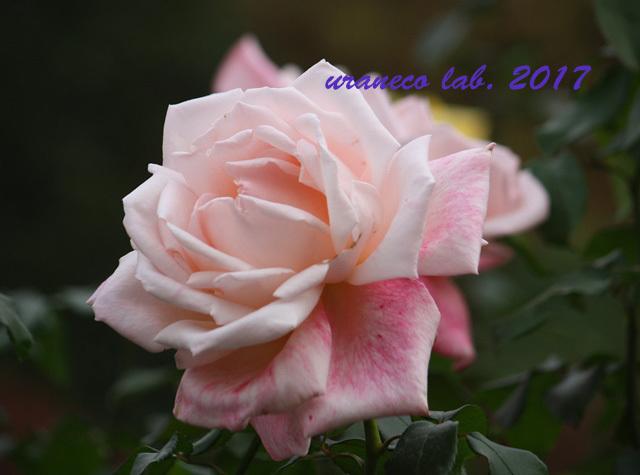 11月6日winter roses2