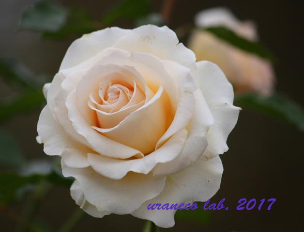 11月6日winter roses