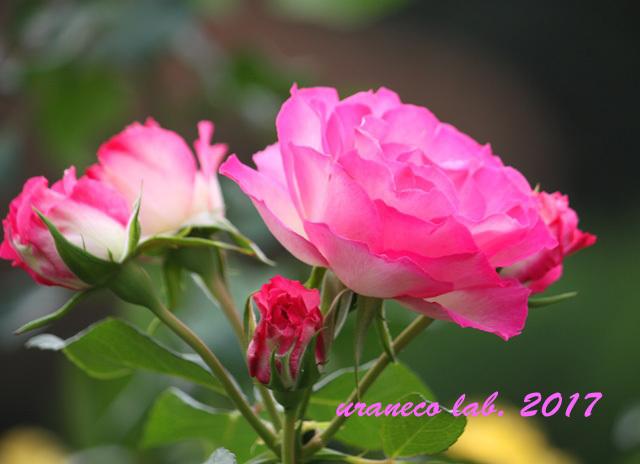 11月6日winter roses9