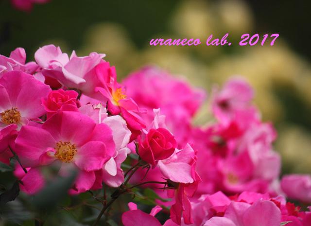 11月6日winter roses8