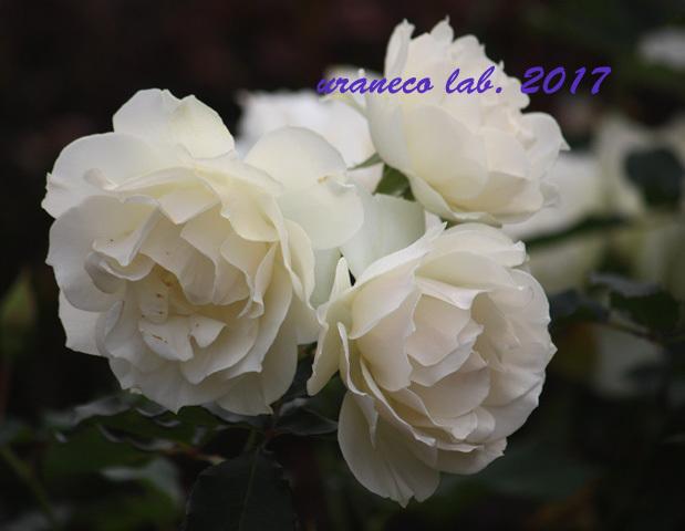 11月6日winter roses7