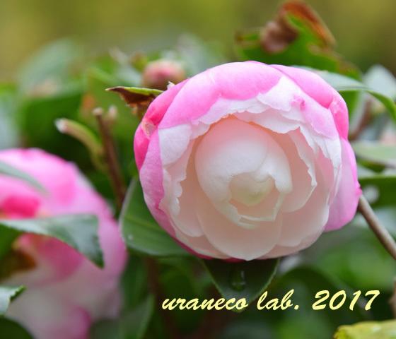 11月14日山茶花2