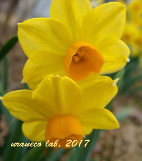 12月15日スイセン黄色