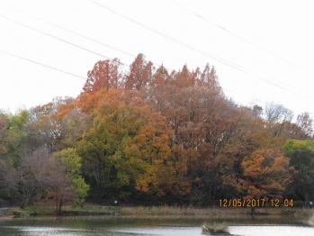 13-20 186高町池堤防から見たメタセコイア群a