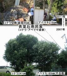 15青葉丘民家コナラ・アベマキ