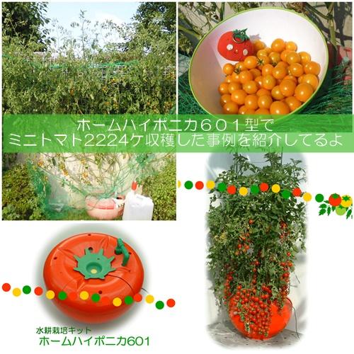 ミニトマトの水耕栽培