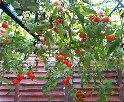 tomato_11_5.jpg