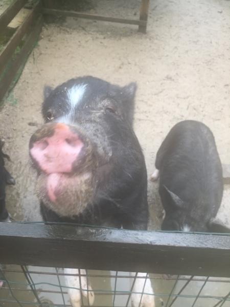 『道の駅 丹後王国「食のみやこ」』豚さん1