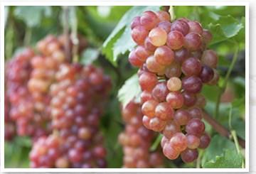 赤ワインの300倍!?脚が、パンパンでだるい、疲れる、靴下の跡が、残ったら!赤ぶどうの葉サプリ【スラリピュア】口コミ。