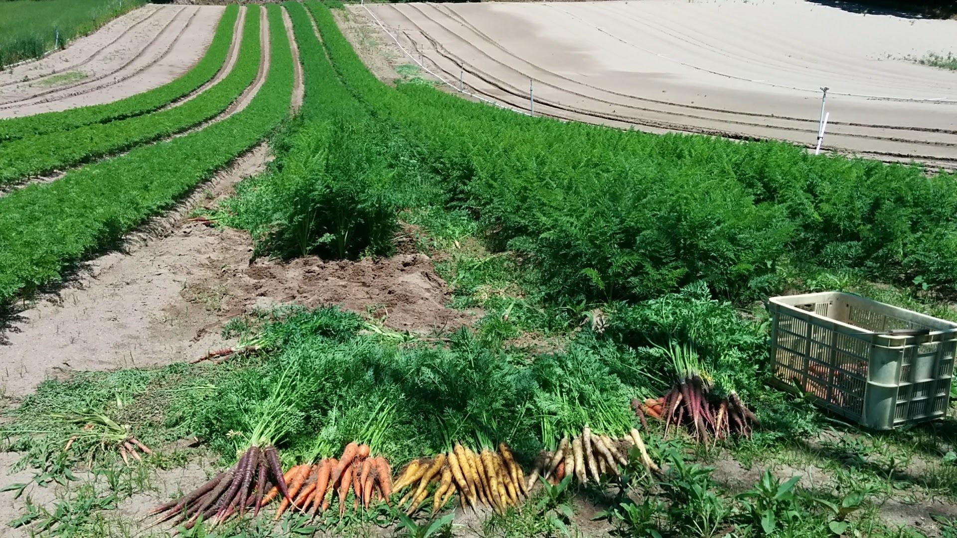 彩りニンジンの畑