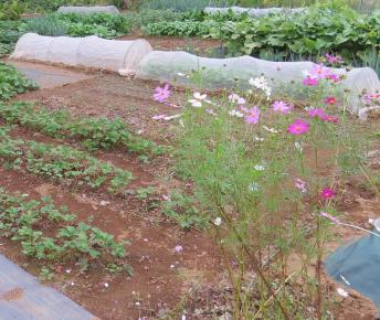 菜園のコスモス2