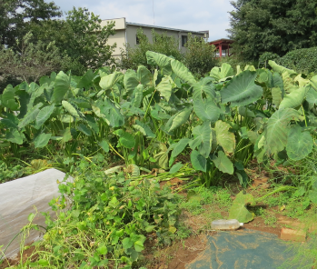 サトイモ菜園10月の様子