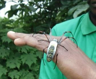マダガスカル薬用クモ