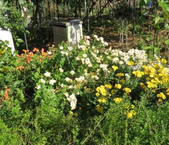 有機菜園の菊11月