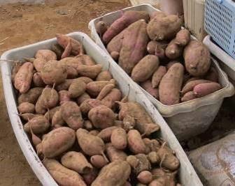 サツマイモ収穫物