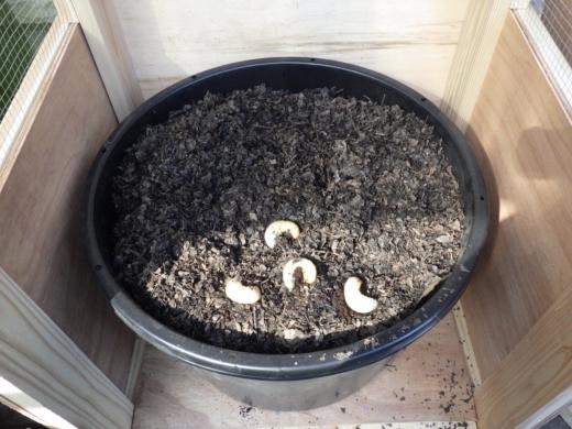 カブトムシ幼虫の飼育 (2)