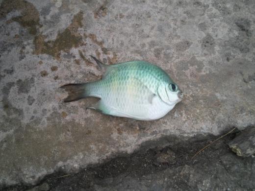 沖縄本部釣り (14)