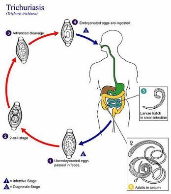 鞭虫食物連鎖1