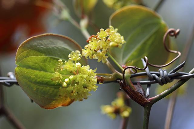 サルトリイバラ(猿捕茨)の雄花