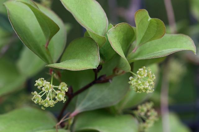 サルトリイバラ(猿捕茨)の雌花