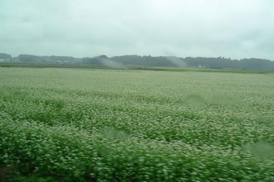 沿線のソバ畑