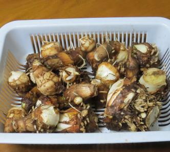 サトイモ収穫物10月