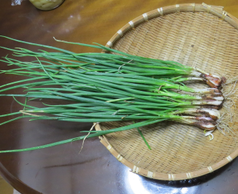 ワケギ収穫物