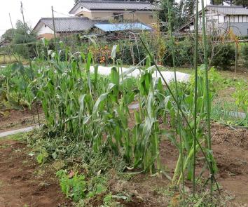 トウモロコシ10月の菜園