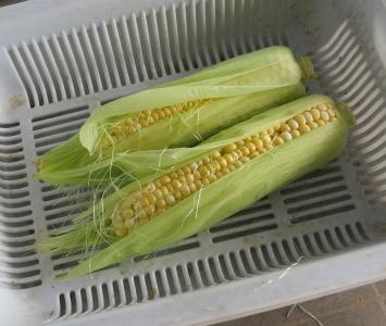 トウモロコシ10月収穫物