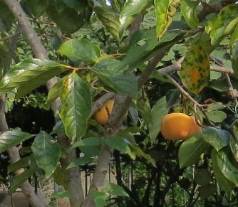 次郎柿菜園2