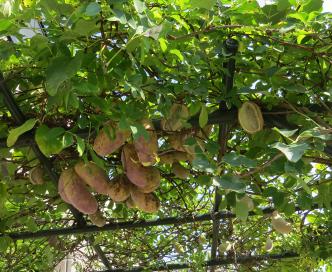 アケビの木と実10月下旬