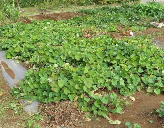 サツマイモ収穫直前の茎葉