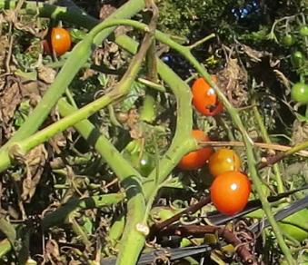 ミニトマト11月中旬近景