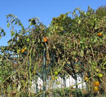 ミニトマト菜園11月中旬遠景