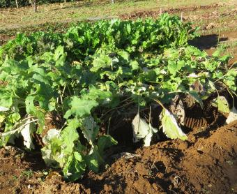波板を使ったゴボウ栽培11月
