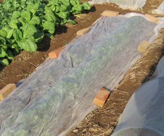 サラダ用ホウレンソウのパオパオベタかけ栽培