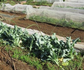 台風被害少ない防虫ネット利用ブロッコリー