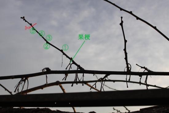 キウイ_3906 (7)