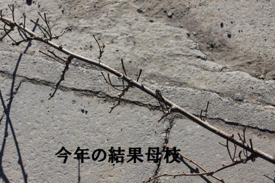 キウイ_3906 (11)