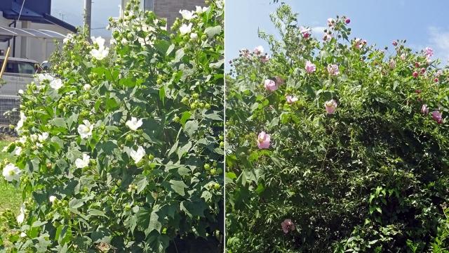 4一重の白とピンクの芙蓉