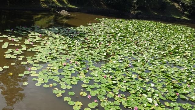 14運動公園の池の睡蓮