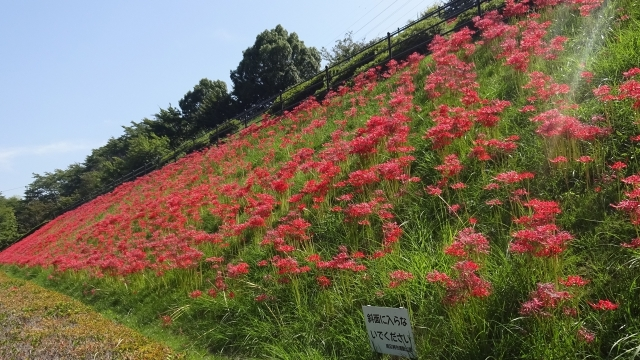 15リコリスの丘の彼岸花