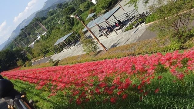16リコリスの丘の彼岸花2