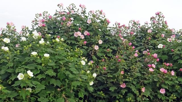 5一重の芙蓉白とピンクの2色