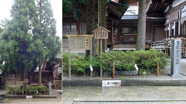 7三本杉(御神木)