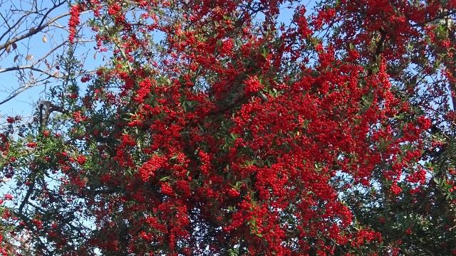 5鮮やかな木の実