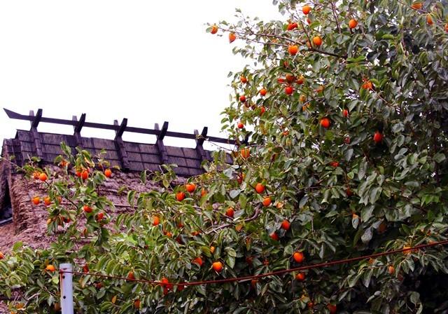 柿と藁屋根