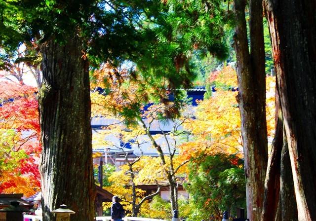 高野杉と紅葉 い