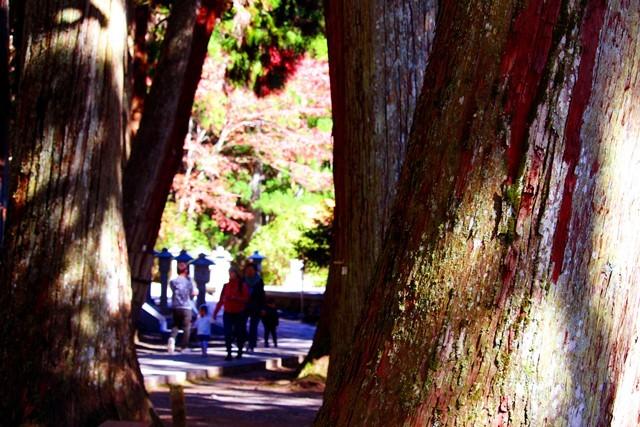 杉と紅葉4